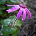 Igelhuellkelch Bluete pink Pericallis echinata 04