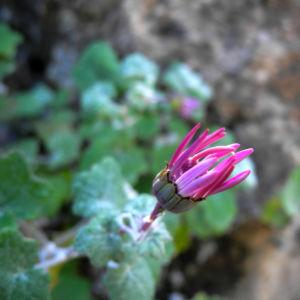 Igelhuellkelch Bluete pink Pericallis echinata 05