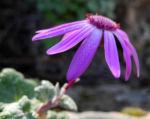 Igelhuellkelch Bluete pink Pericallis echinata 06