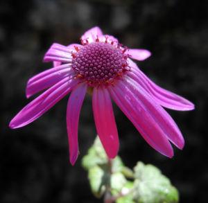 Igelhuellkelch Bluete pink Pericallis echinata 09