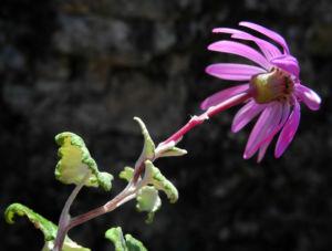 Igelhuellkelch Bluete pink Pericallis echinata 11