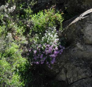 Igelhuellkelch Bluete pink Pericallis echinata 15
