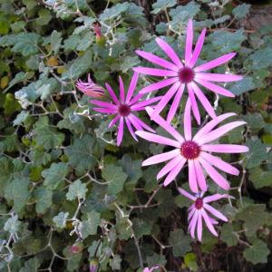Igelhuellkelch Bluete pink Pericallis echinata 17