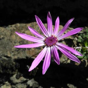 Igelhuellkelch Bluete pink Pericallis echinata 19