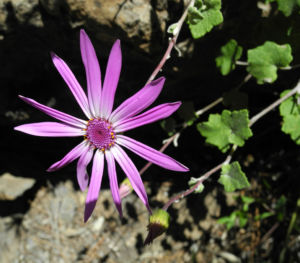 Igelhuellkelch Bluete pink Pericallis echinata 22