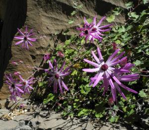 Igelhuellkelch Bluete pink Pericallis echinata 23