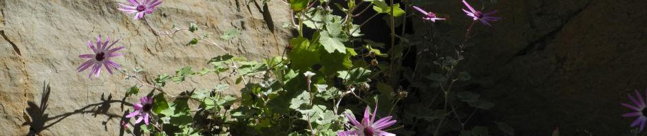Anklicken um das ganze Bild zu sehen  Igelhüllkelch-Cinerarie Blüte pink Pericallis echinata
