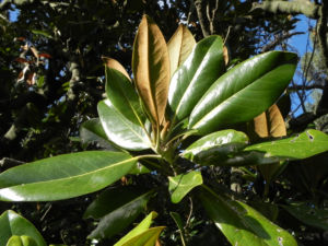 Immergruene Magnolie Blatt gruen Magnolia grandiflora 04