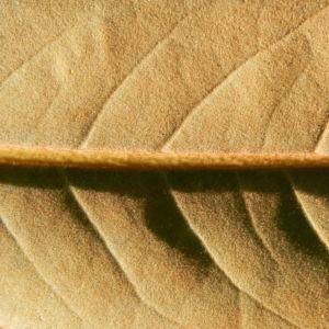 Immergruene Magnolie Blatt gruen Magnolia grandiflora 07
