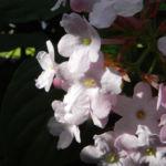 Immergruene Magnolie Bluete weiss Magnolia grandifloria 02
