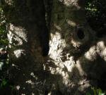 Bild: Immergrüne Magnolie Blüte weiß Magnolia grandiflora