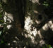 Zurück zum kompletten Bilderset Immergrüne Magnolie Blüte weiß Magnolia grandiflora