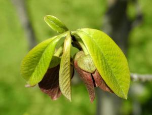 Indianerbanane Blatt gruen Asimina triloba 01
