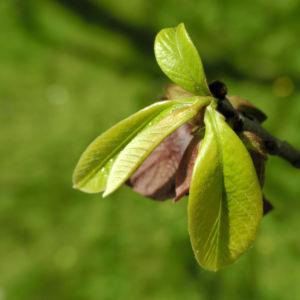 Indianerbanane Blatt gruen Asimina triloba 02