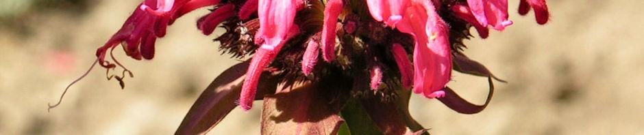 Anklicken um das ganze Bild zu sehen Indianernessel Goldmelisse Blüte rot - Monarda fistulosa