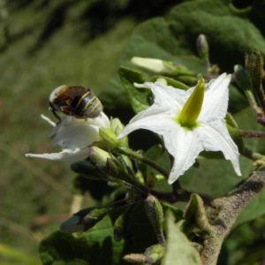 Indische Giftbeere Bluete weiss Solanum indicum 02