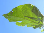Indische Giftbeere Bluete weiss Solanum indicum 04