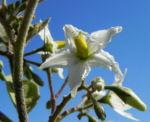 Indische Giftbeere Bluete weiss Solanum indicum 05