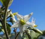 Indische Giftbeere Bluete weiss Solanum indicum 06