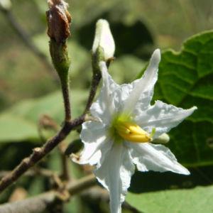 Indische Giftbeere Bluete weiss Solanum indicum 11