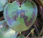 Indische Seekanne Blatt gruen Nymphoides indica 06