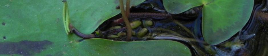 indische-seekanne-bluete-weiss-nymphoides-indica