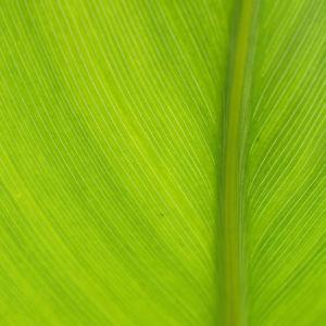 Indisches Blumenrohr Bluete rot Canna x generalis 03