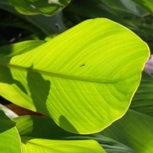 Indisches Blumenrohr Bluete rot Canna x generalis 05