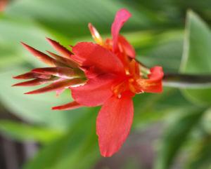 Bild: Indisches Blumenrohr Bluete rot Canna x generalis