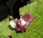 Indisches Springkraut Bluete pink Impatiens glandulifera 01