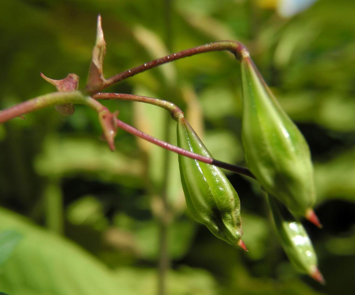 Indisches Springkraut Bluete pink Impatiens glandulifera