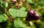 Indisches Springkraut Bluete pink Impatiens glandulifera 13