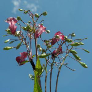 Indisches Springkraut Bluete pink Impatiens glandulifera 14