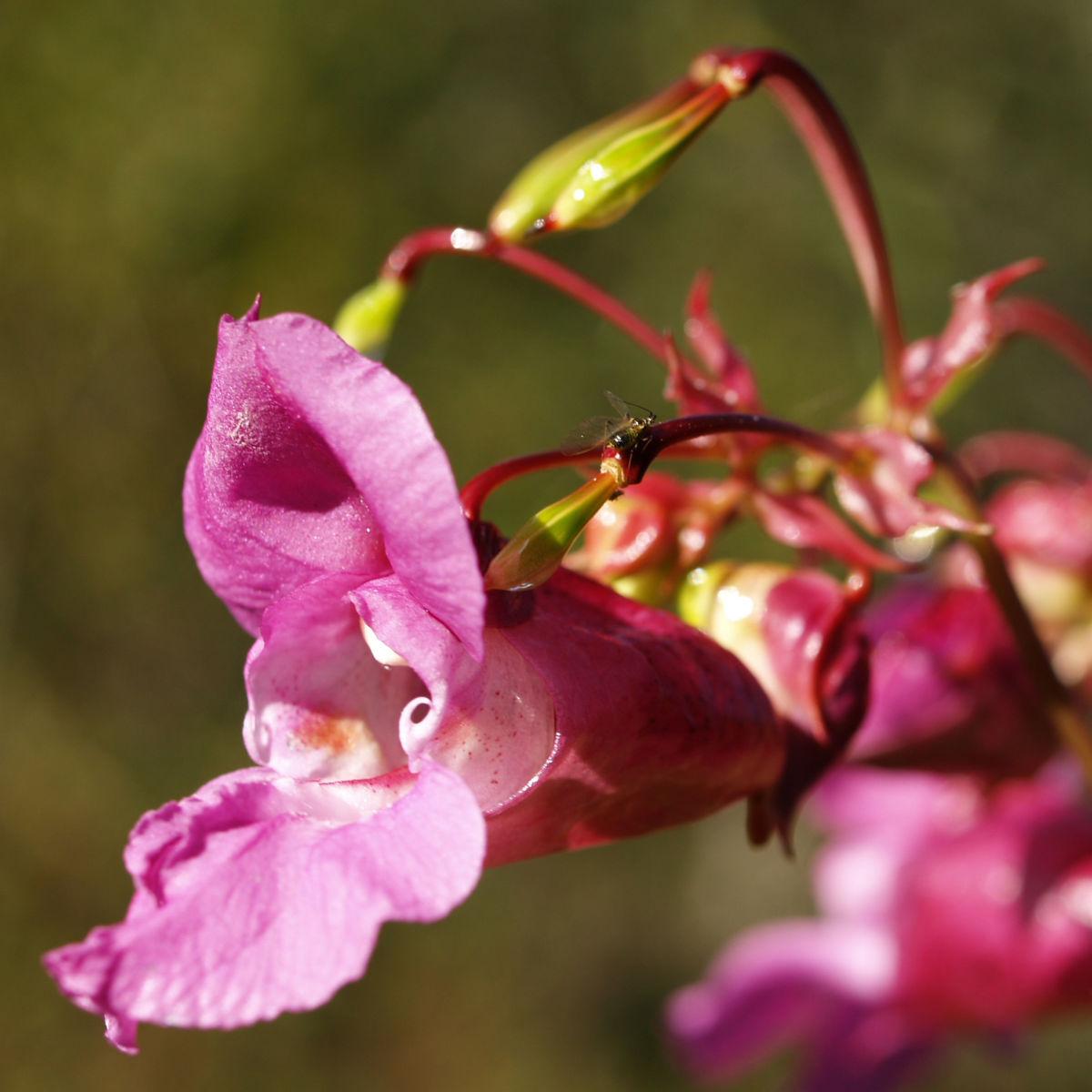 Indisches Springkraut Bluete rosa Impatiens glandulifera