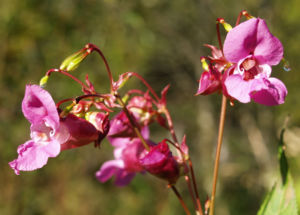 Indisches Springkraut Bluete rosa Impatiens glandulifera 04