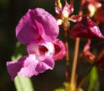 Indisches Springkraut Bluete rosa Impatiens glandulifera 05