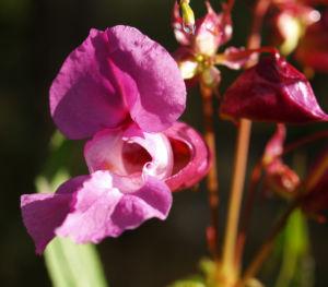 Bild: Indisches Springkraut Bluete rosa Impatiens glandulifera