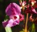 Zurück zum kompletten Bilderset Drüsiges Springkraut Blüte rosa Impatiens glandulifera