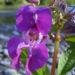 Zurück zum kompletten Bilderset Indisches Springkraut Blüte rosa Impatiens glandulifera