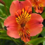 Inkalilie Peruanische Lilie Bluete rot orange Alstroemeria aurantiaca 01