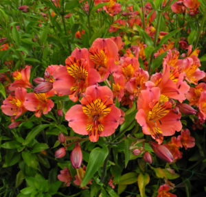Inkalilie Peruanische Lilie Bluete rot orange Alstroemeria aurantiaca 03
