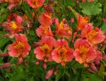 Inkalilie Peruanische Lilie Bluete rot orange Alstroemeria aurantiaca 04