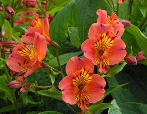 Inkalilie Peruanische Lilie Bluete rot orange Alstroemeria aurantiaca 05