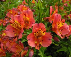 Inkalilie Peruanische Lilie Bluete rot orange Alstroemeria aurantiaca 07