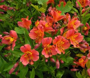 Inkalilie Peruanische Lilie Bluete rot orange Alstroemeria aurantiaca 09