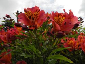 Inkalilie Peruanische Lilie Bluete rot orange Alstroemeria aurantiaca 10