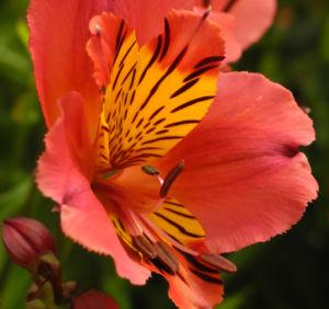 Inkalilie Peruanische Lilie Bluete rot orange Alstroemeria aurantiaca 14