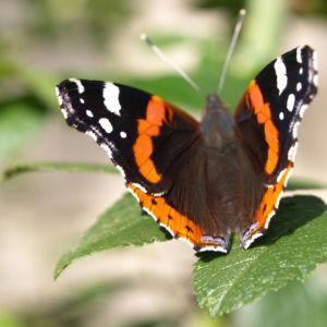 Insekt Schmetterling Admiral Falter Vanessa atalanta 01