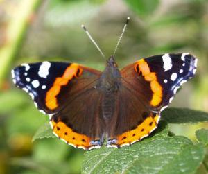 Insekt Schmetterling Admiral Falter Vanessa atalanta 02