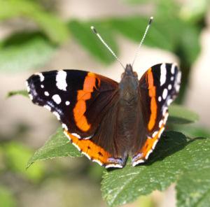 Insekt Schmetterling Admiral Falter Vanessa atalanta 03